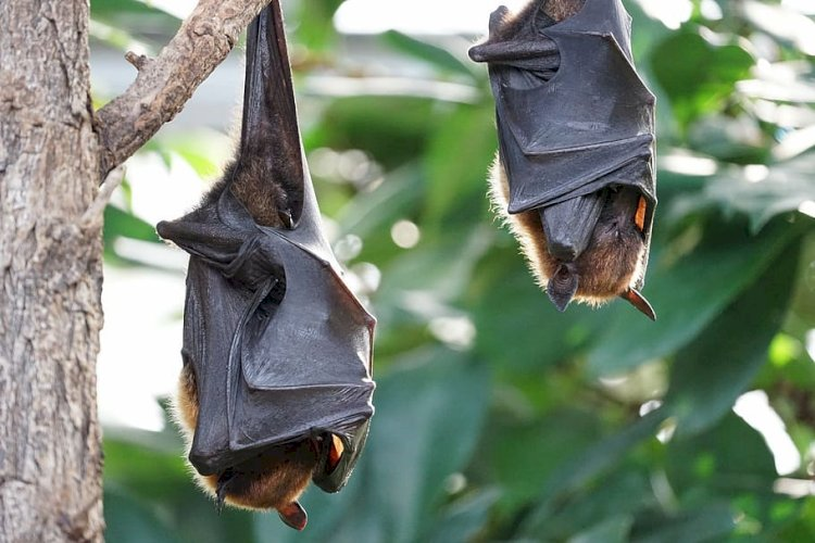 How did the Coronavirus pass from bats to humans?